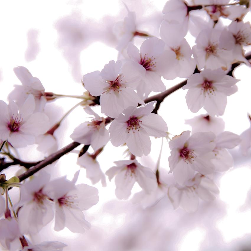 Sakura Miwa